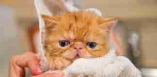 貓洗澡注意事項